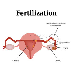 Diagram of the structure of the pelvic organs. Fertilization. Vector illustration on isolated background