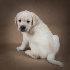 Six weeks old Labrador puppy
