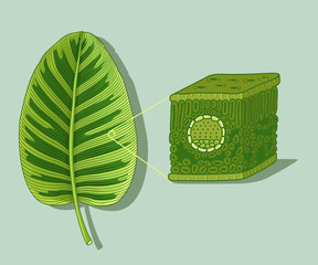 Cartoon leaf anatomy structure under microscopy. Botanical diagram illustration showing cross-section of leaves. Vector illustration.
