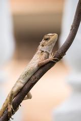 Garden lizard holding a twig