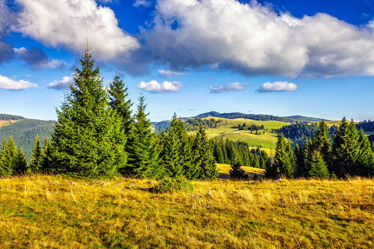 Conifer forest in classic Carpathian mountain Autumn Landscape
