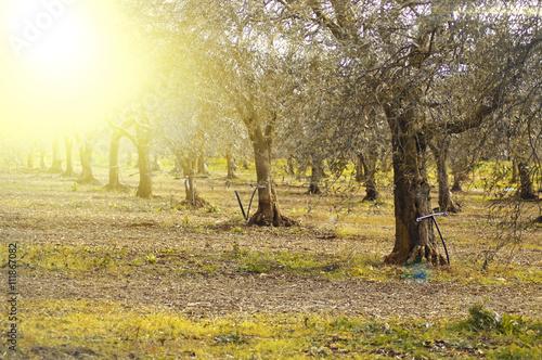 Piantagione con alberi di ulivo immagini e fotografie for Acquisto piante ulivo