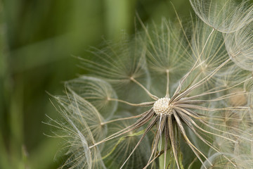 dandelion (dandelion close up)