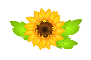 Sunflower illustration isolated