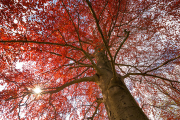 Blutbuche, Rotbuche mit Sonnenstern