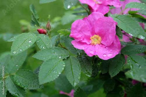 Красивые цветы шиповника