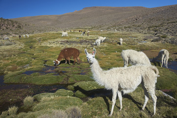 Group of llama (Lama glama) and alpaca (Lama pacos) grazing on a wetland in Lauca National Park, northern Chile.