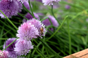 A bee collecting nectar from a purple flower