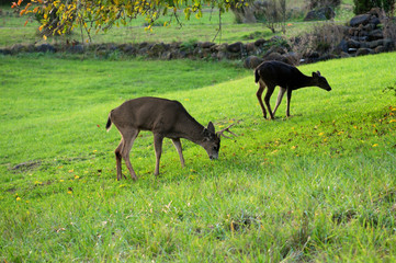 Young male deer and fawn eat grass under a tree.