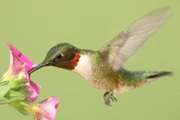 Fotoväggar - Ruby-throated Hummingbird At A Flower