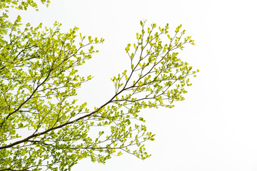 Green Tree, Isolated on white background.