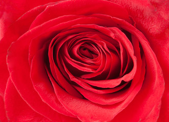 Beautiful red rose macro