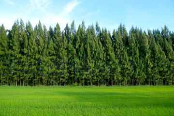Rice field and pine tree with blue sky.