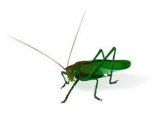 Realistic illustration of a grasshopper