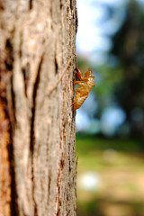 Cicada slough on tree bark.