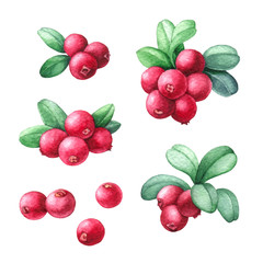 Cowberry Watercolor Illustration