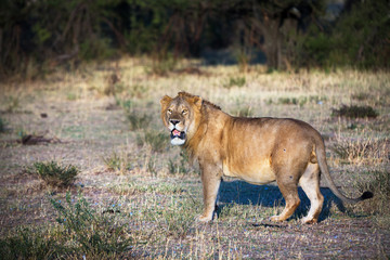 Lion in the Serengeti National Park, Tanzania, Africa