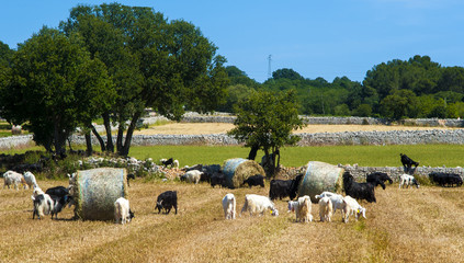 Goats grazing in the countryside of Puglia directly after mowing straw