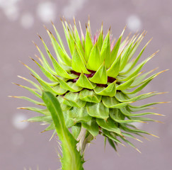 Picture of a Forest thorn plant