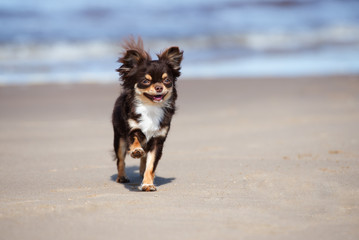 happy chihuahua dog running on a beach