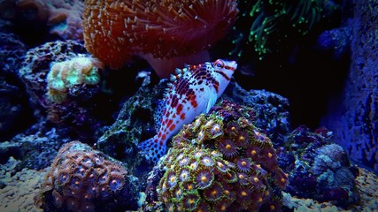 Pixy Hawkfish in aquarium