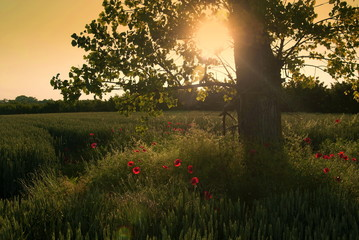 Bright sunset in the meadow with the sun hiding behind a tree