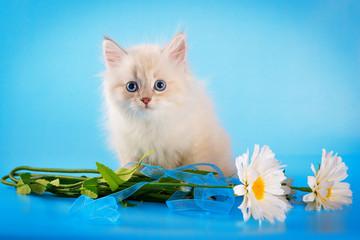 Neva masquerade kitten on blue background
