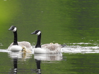 Adorable Canada goose goslings
