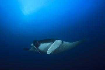 Manta Ray underwater in ocean