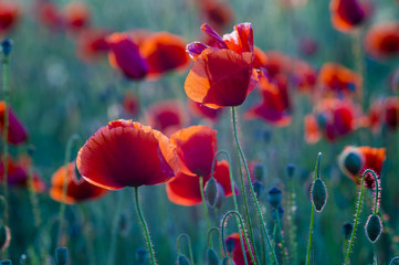 Poppies field-flowers