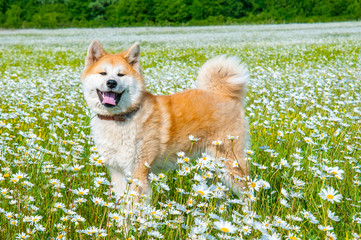 Akita - young dog standing on the green field.