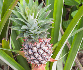 Pineapple tropical fruit in a farm