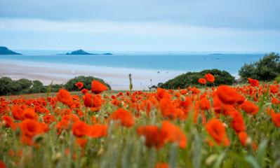 Wall Mural - Red poppy field near sea, Brittany