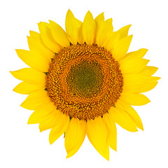 Sunflower close-up isolated on white