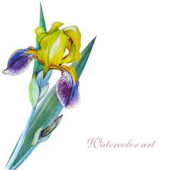 Yellow iris watercolor