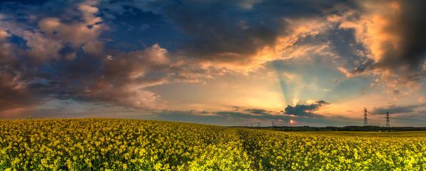 Fototapeta Panorama pole rzepaku w zachodzącym słońcu obraz