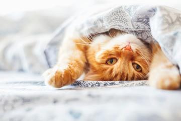 Śliczny imbirowy kota lying on the beach w łóżku pod koc. Puszysty zwierzak wygodnie usadowiony do snu. Przytulne tło domu z zabawnym zwierzakiem.