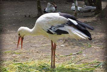 Ein Storch (ciconia ciconia), Nahaufnahme