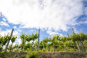 Vineyards with grape vines in early summer in Italy