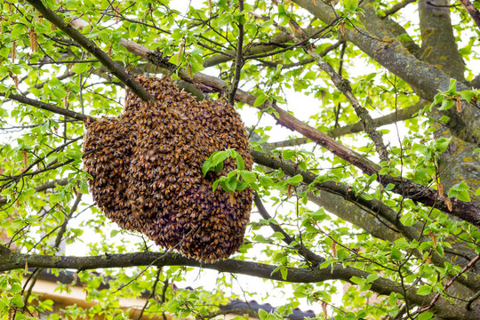 Drone of bees