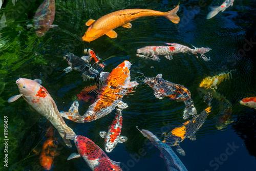 Japan kois im koiteich japanischer koi im gartenteich for Koi fische im gartenteich