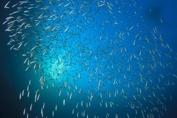 Underwater blue ocean with sardines fish