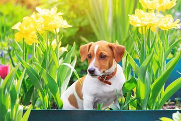 Puppy jack russel terrier sitting near tulips.