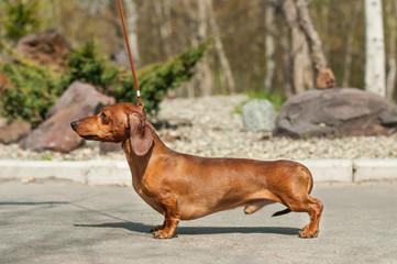 Miniature dachshund male show rack training
