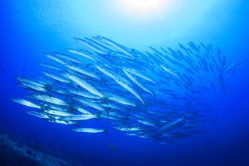 Barracuda fish school in sea