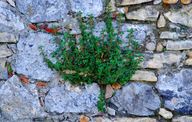 caper plant on stone wall