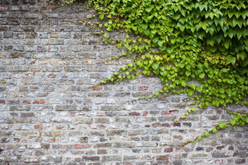old brick wall with green ivy