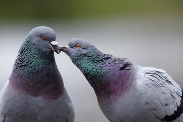 kiss - City Pigeons, Pigeon
