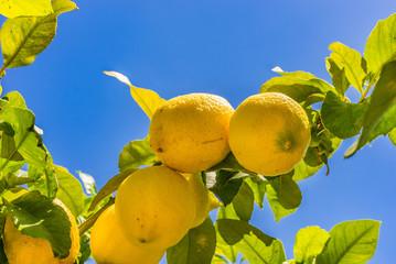 Fototapete - Zitronenbaum Zitrusfrucht