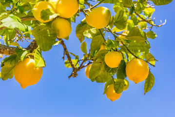 Fototapete - Lemon tree